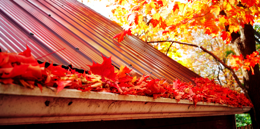 Maple leaves in the gutter, fall time